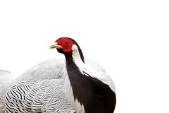 Male Silver Pheasant Isolated on White Background, Clipping Path Stock Photos
