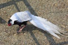 Male Silver Pheasant. (Lophura nycthemera Royalty Free Stock Photo