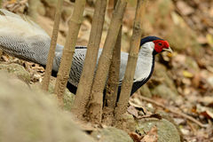 Male Silver Pheasant (Lophura nycthemera) Royalty Free Stock Photography