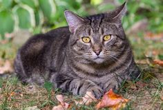 Male silver tabby lying in the grass. Close up portrait of a large male silver-tabby cat lying in the grass in late summer enjoying the sun Stock Photo