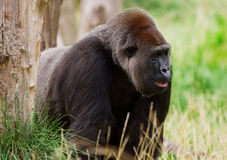 Male silverback gorilla Royalty Free Stock Photo
