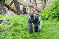 Male silverback gorilla walking towards the camera royalty free stock photo