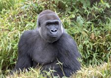 Male silverback gorilla, Dallas Zoo. Pictured is a male silverback gorilla named Subira in the Dallas Zoo. He is twenty-two years old and 18 days ago became a Royalty Free Stock Photography