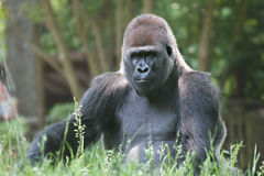 Male Silverback Gorilla outdoors. Huge male gorilla making sure his family is safe Royalty Free Stock Photo