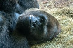 Male silverback gorilla. Picture of a male silverback gorilla laying down Stock Image