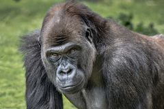 Male silverback gorilla portrait royalty free stock photography