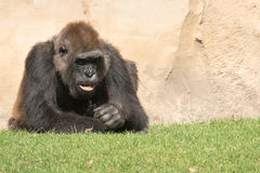 Male silverback gorilla, single mammal on grass Stock Photo