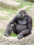 Male silverback gorilla, single mammal on grass Royalty Free Stock Image