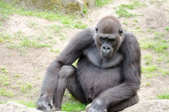 Male silverback gorilla, single mammal on grass. Gorillas are the largest extant genus of primates by size Stock Photo