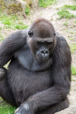Male silverback gorilla, single mammal on grass. Gorillas are the largest extant genus of primates by size Stock Image