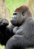 Male Silverback Gorilla. A male silverback gorilla was deep in contemplation at Miami Metro Zoo. This African gorilla is a main attraction in the primate section Royalty Free Stock Photos