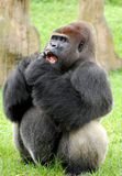 Male Silverback Gorilla Royalty Free Stock Images
