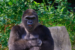 Male Silverback Western Lowland gorilla. Arms crossed Stock Images