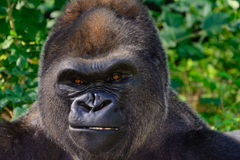 Male Silverback Western Lowland gorilla. Close Up Royalty Free Stock Photos