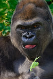 Male Silverback Western Lowland gorilla Stock Photo