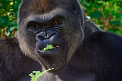 Male Silverback Western Lowland gorilla. Eating lettuce close-up Stock Photos