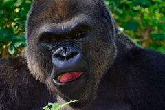Male Silverback Western Lowland gorilla Royalty Free Stock Images
