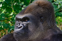 Male Silverback Western Lowland gorilla. Profile view Royalty Free Stock Images
