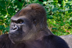 Male Silverback Western Lowland gorilla Stock Photography