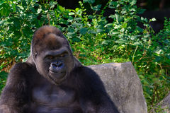 Male Silverback Western Lowland gorilla Royalty Free Stock Image