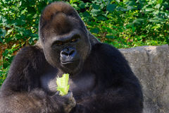 Male Silverback Western Lowland gorilla. Smiling with Lettuce Royalty Free Stock Photography
