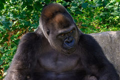 Male Silverback Western Lowland gorilla Stock Photos