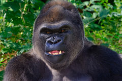 Male Silverback Western Lowland gorilla. Teeth exposed stock image