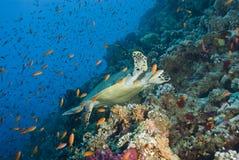 male simningsköldpadda för vuxen hawksbill Arkivfoton