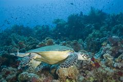 male simningsköldpadda för vuxen hawksbill Royaltyfri Fotografi