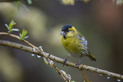 Male Siskin. On a branch Royalty Free Stock Photo