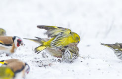 A male Siskin aggression. A male Siskin fighting for food in snow blizzard in April 2013, Lithuania Stock Image