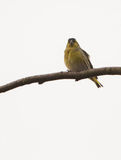 Male Siskin on branch. A lithuanian male Siskin bird ( Carduelis spinus) sits on a horizontal branch Royalty Free Stock Image