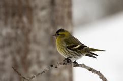 Male siskin Royalty Free Stock Photos