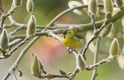 A stunning male Siskin Carduelis spinus perched among the flower buds of a Magnolia tree on a cold winters day. A male Siskin Carduelis spinus perched among the Royalty Free Stock Photos