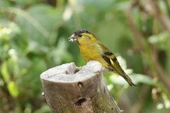 A stunning male Siskin Carduelis spinus perched on a tree stump feeding. A male Siskin Carduelis spinus perched on a tree stump feeding Royalty Free Stock Photo