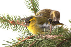 Male siskin. On a fir-tree branch isolated on a white background, studio shot Stock Photos