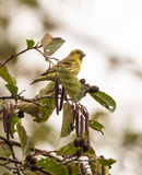 Male Siskin with fruits on tree Royalty Free Stock Photo