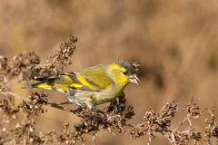 Male Siskin in full autumn courtship plumage Royalty Free Stock Photos