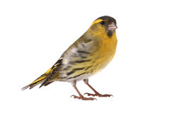 Male siskin royalty free stock images