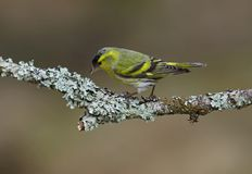 Male Siskin on a Lichen covered perch. At Loch Garten,Scotland Royalty Free Stock Photography
