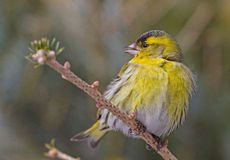 A male Siskin on the perch. A male Siskin sitting on a perch of conifer  tree, Lithuania Royalty Free Stock Photography