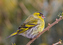 A male Siskin on the perch Royalty Free Stock Photography
