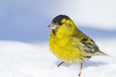 A male Siskin on the snow. A male Siskin is posing on the snow in my yard in Lithuania Royalty Free Stock Photography