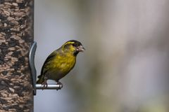 Male Siskin, Spinus spinus, on bird feeder. Male Siskin, Spinus spinus, perched on bird feeder holding seed in mouth Stock Photography