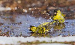 A male Siskin taking a bath. A male Siskin is bathing in the melted snow water in my yard in Lithuania Royalty Free Stock Photography