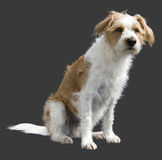 Male sitting dog. White and brown male dog sitting in the sunlight Royalty Free Stock Image