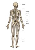 Male Skeleton Stock Photos