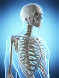 Male skeleton Royalty Free Stock Photos