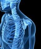 Male skeleton. 3d rendered illustration of the male skeleton Royalty Free Stock Images