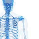 Male skeleton. 3d rendered illustration of the male skeleton Royalty Free Stock Photos